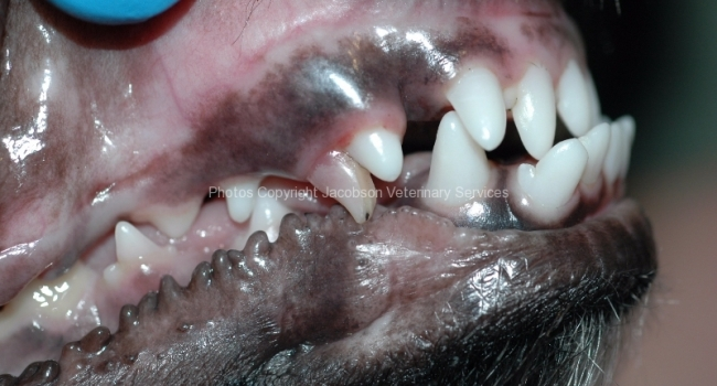 1-complicated-crown-fracture-of-persistant-deciduous-tooth-upper-right-canine-504