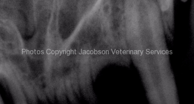 1a-radiograph-of-fractured-abscessed-204